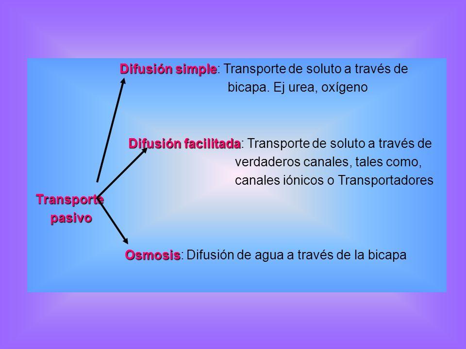 Difusión simple Difusión simple: Transporte de soluto a través de bicapa. Ej urea, oxígeno Difusión facilitada Difusión facilitada: Transporte de solu