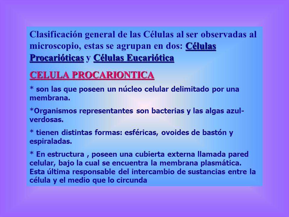 * el material genético se encuentra en el citoplasma.