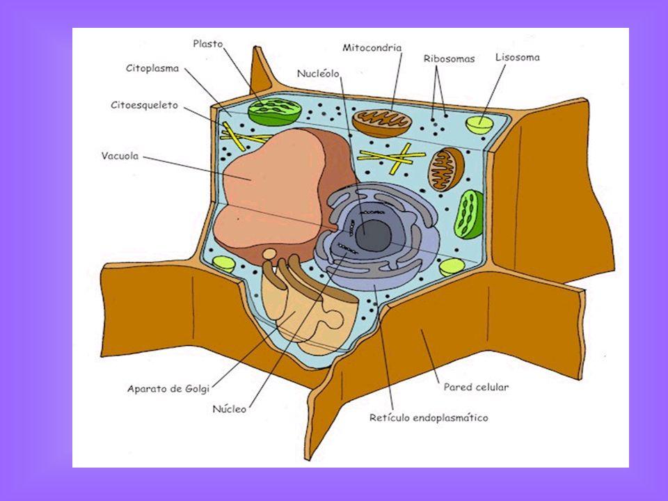 Membrana plasmática La membrana plasmática participa en todos los procesos de intercambio celular, tanto los que las células efectúan para introducir nutrientes, como aquellos con los cuales se expulsan materiales de desecho Esta formada por fosfolípidos dispuesta en una doble capa, lo cual dejan expuestas sus cabezas hidrofílicas y escondidas sus colas hidrofóbicas.