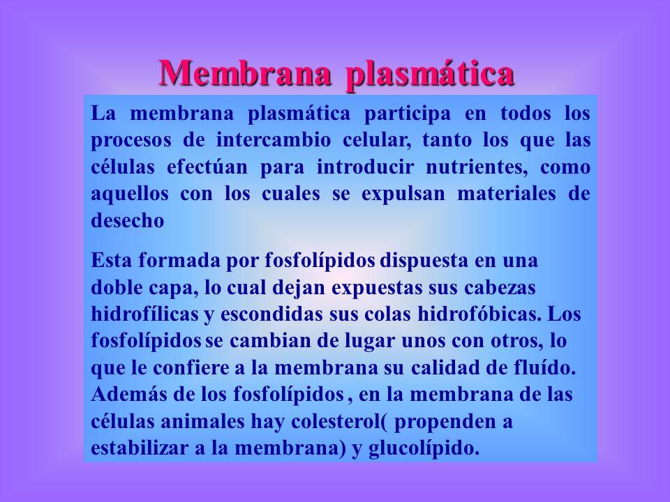 Membrana plasmática La membrana plasmática participa en todos los procesos de intercambio celular, tanto los que las células efectúan para introducir