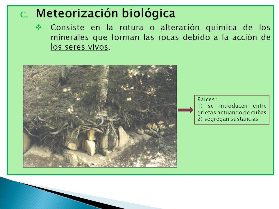 C. Meteorización biológica Consiste en la rotura o alteración química de los minerales que forman las rocas debido a la acción de los seres vivos. Raí