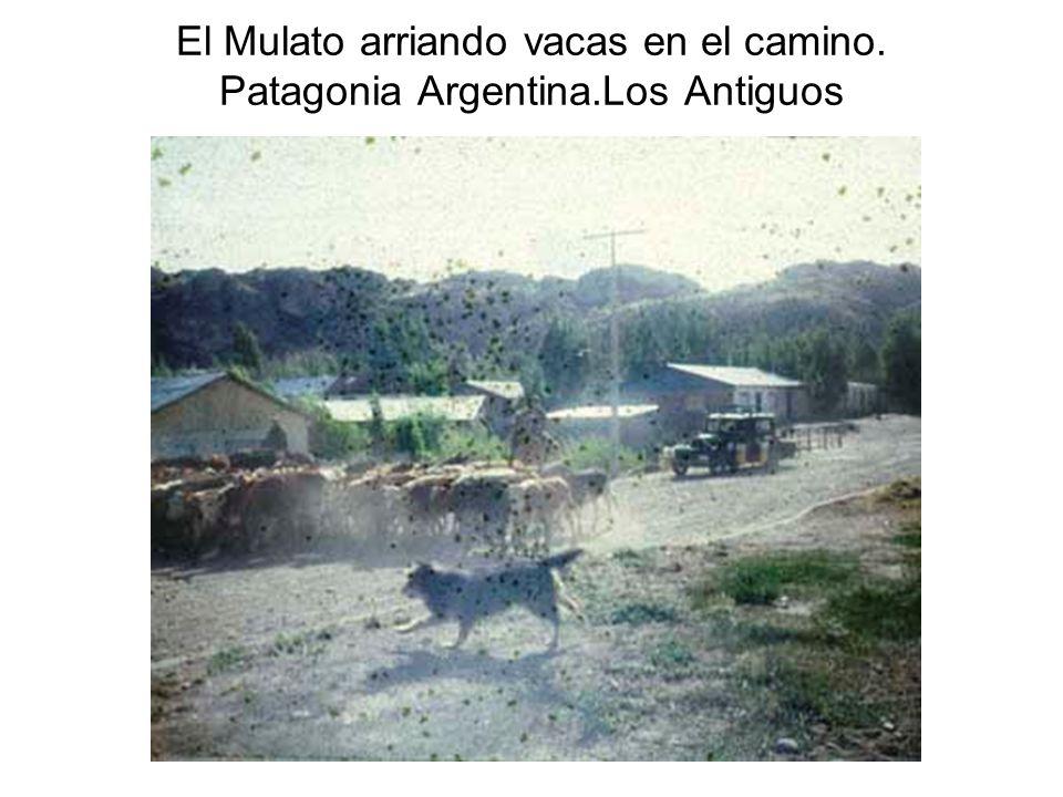 El Mulato arriando vacas en el camino. Patagonia Argentina.Los Antiguos