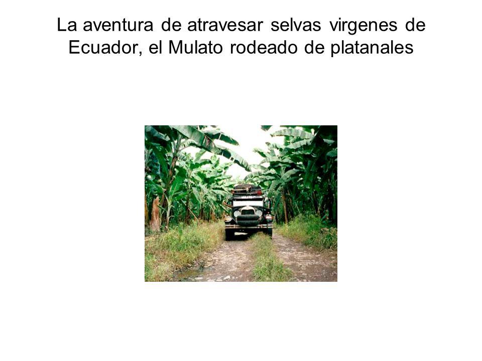 La aventura de atravesar selvas virgenes de Ecuador, el Mulato rodeado de platanales