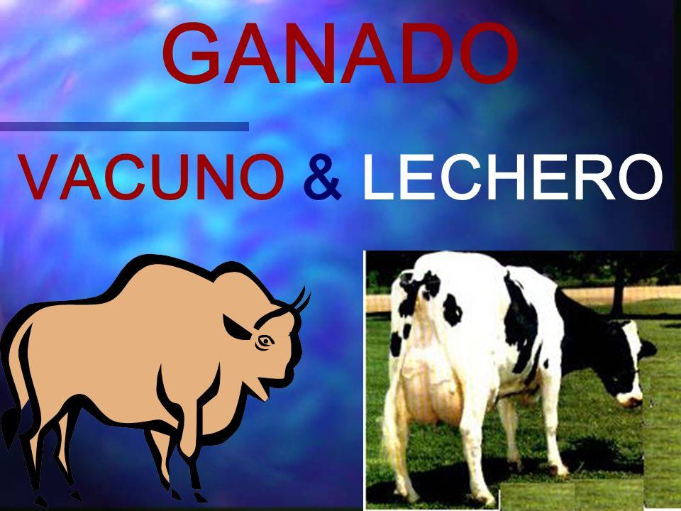 GANADO VACUNO & LECHERO