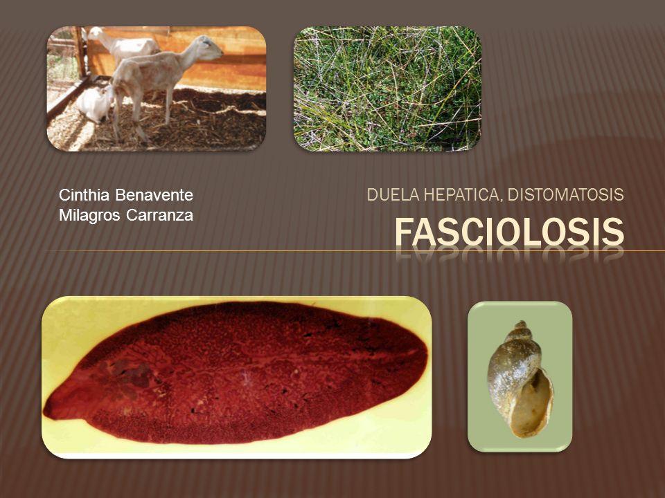 Trematodo Fasciola hepática.Aplanado, forma hoja.