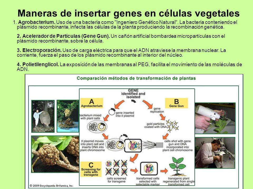 DRM-Biotecnología SB 201225 Maneras de insertar genes en células vegetales 1. Agrobacterium. Uso de una bacteria como