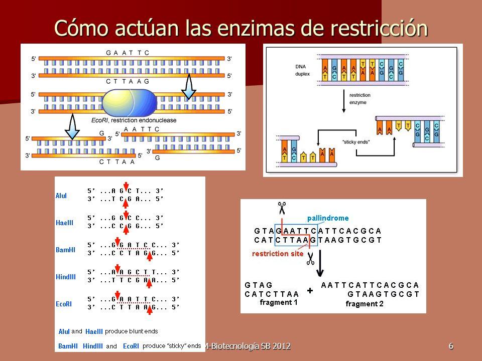 DRM-Biotecnología SB 20126 Cómo actúan las enzimas de restricción
