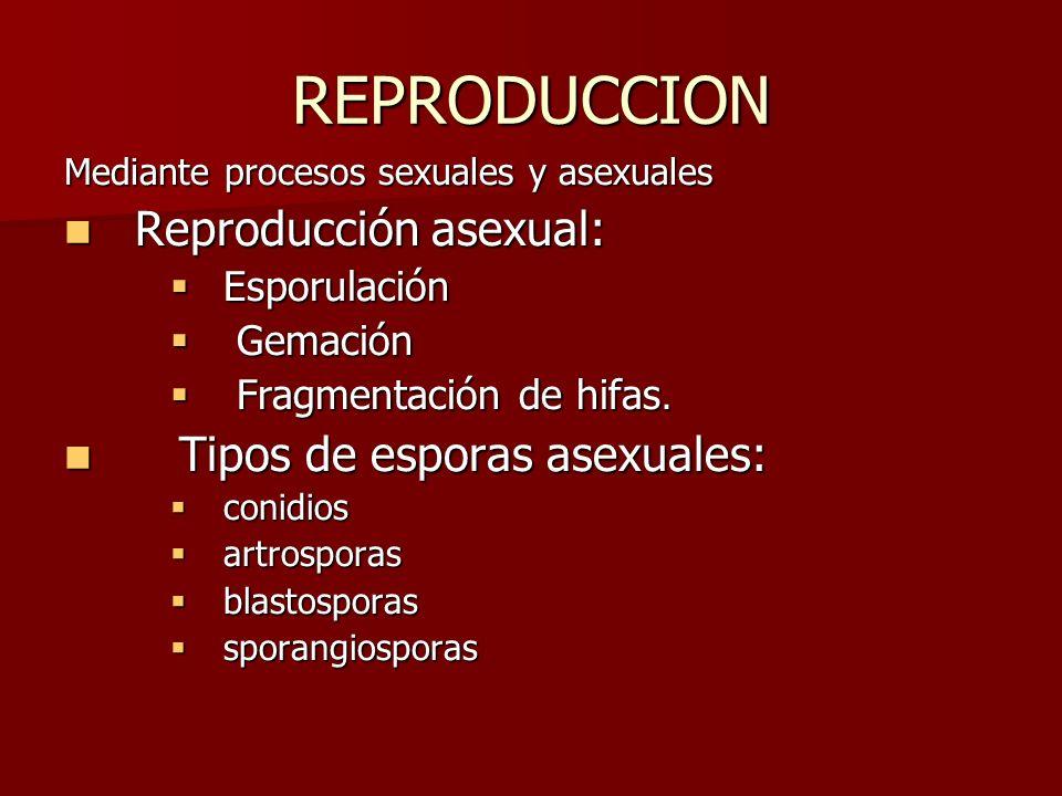 REPRODUCCION Mediante procesos sexuales y asexuales Reproducción asexual: Reproducción asexual: Esporulación Esporulación Gemación Gemación Fragmentac