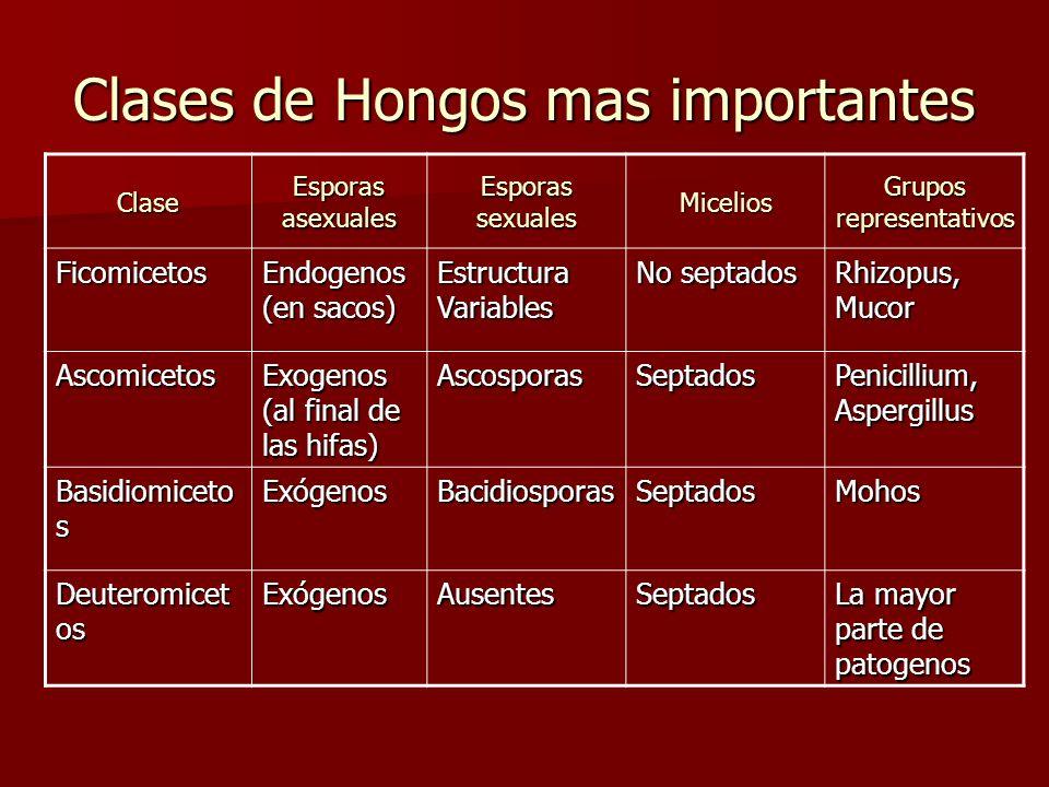 Clases de Hongos mas importantes Clase Esporas asexuales Esporas sexuales Micelios Grupos representativos Ficomicetos Endogenos (en sacos) Estructura