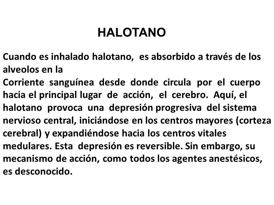 Cuando es inhalado halotano, es absorbido a través de los alveolos en la Corriente sanguínea desde donde circula por el cuerpo hacia el principal luga