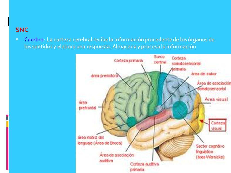 SNC Cerebro: La corteza cerebral recibe la información procedente de los órganos de los sentidos y elabora una respuesta. Almacena y procesa la inform