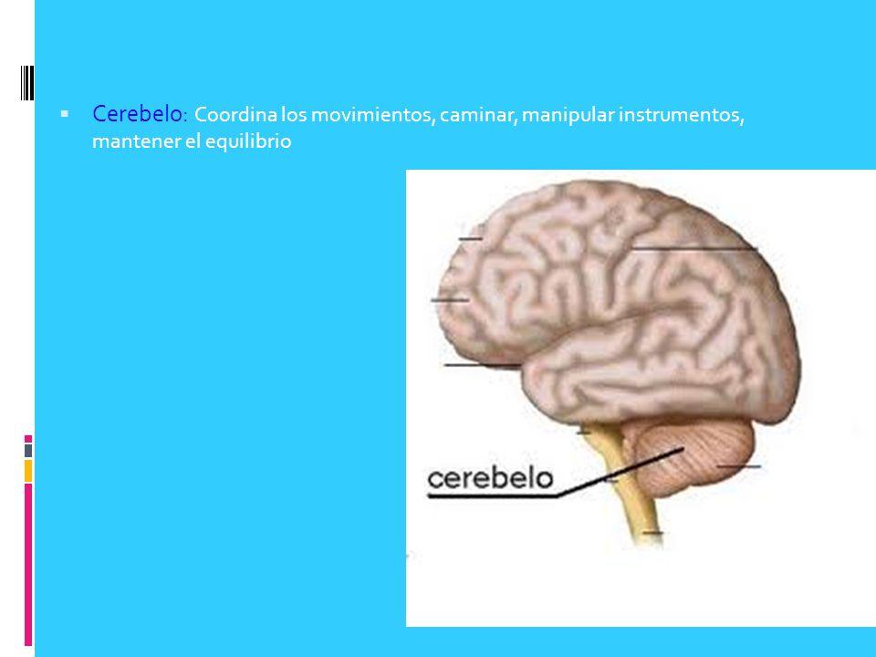 Cerebelo: Coordina los movimientos, caminar, manipular instrumentos, mantener el equilibrio