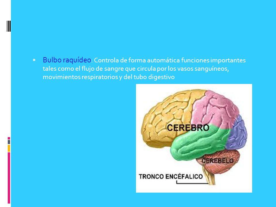 Bulbo raquídeo : Controla de forma automática funciones importantes tales como el flujo de sangre que circula por los vasos sanguíneos, movimientos re