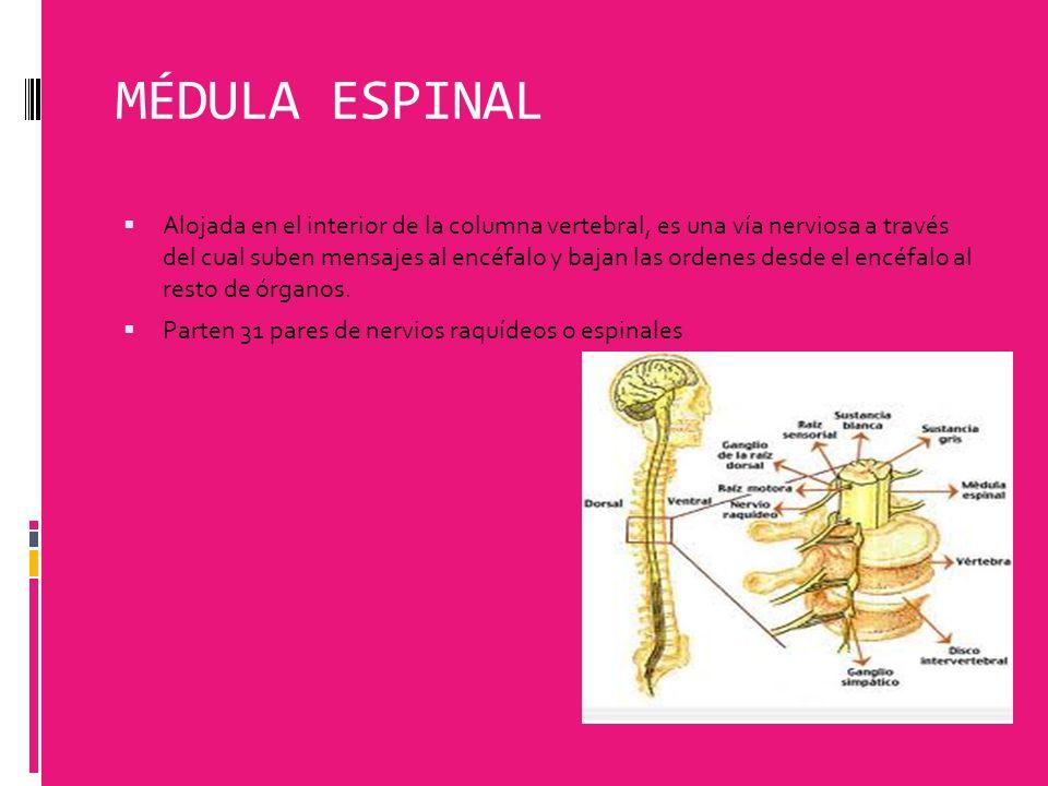 MÉDULA ESPINAL Alojada en el interior de la columna vertebral, es una vía nerviosa a través del cual suben mensajes al encéfalo y bajan las ordenes de