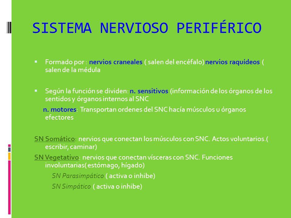 SISTEMA NERVIOSO PERIFÉRICO Formado por : nervios craneales ( salen del encéfalo) nervios raquídeos ( salen de la médula Según la función se dividen: