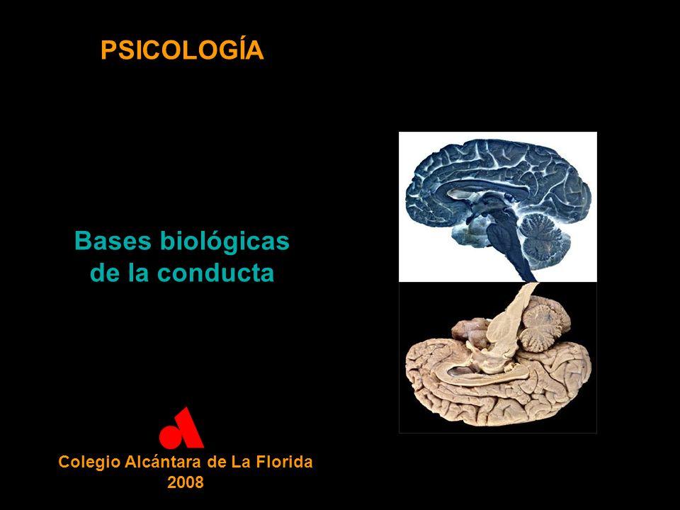 PSICOLOGÍA Bases biológicas de la conducta Colegio Alcántara de La Florida 2008