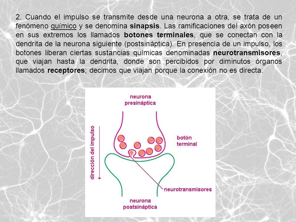 2. Cuando el impulso se transmite desde una neurona a otra, se trata de un fenómeno químico y se denomina sinapsis. Las ramificaciones del axón poseen