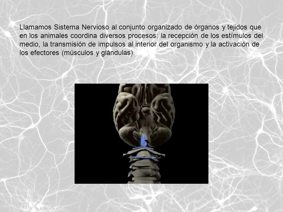 Llamamos Sistema Nervioso al conjunto organizado de órganos y tejidos que en los animales coordina diversos procesos: la recepción de los estímulos de