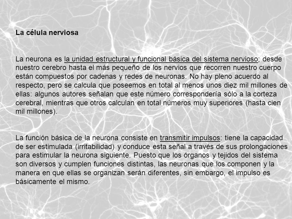 La célula nerviosa La neurona es la unidad estructural y funcional básica del sistema nervioso; desde nuestro cerebro hasta el más pequeño de los nerv