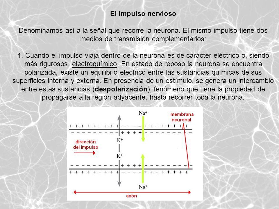 El impulso nervioso Denominamos así a la señal que recorre la neurona. El mismo impulso tiene dos medios de transmisión complementarios: 1. Cuando el