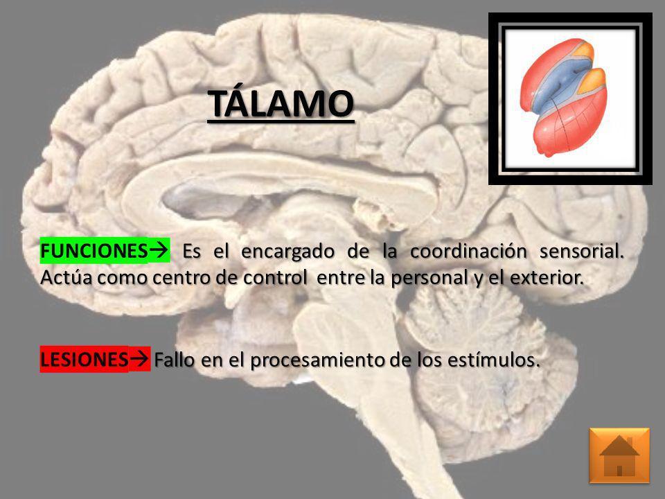 TÁLAMO FUNCIONES Es el encargado de la coordinación sensorial. Actúa como centro de control entre la personal y el exterior. Fallo en el procesamiento