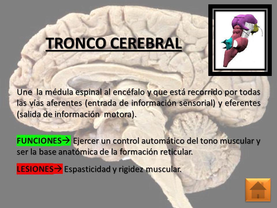 TRONCO CEREBRAL Une la médula espinal al encéfalo y que está recorrido por todas las vías aferentes (entrada de información sensorial) y eferentes (sa