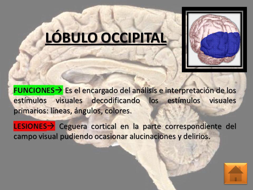 LÓBULO OCCIPITAL Es el encargado del análisis e interpretación de los estímulos visuales decodificando los estímulos visuales primarios: líneas, ángul