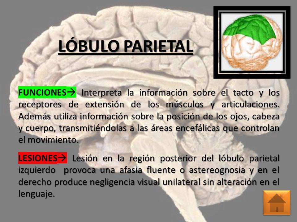 LÓBULO PARIETAL Interpreta la información sobre el tacto y los receptores de extensión de los músculos y articulaciones. Además utiliza información so