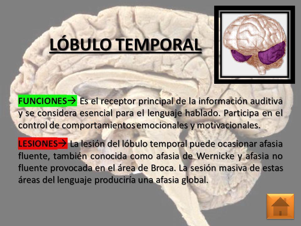 LÓBULO TEMPORAL FUNCIONES Es el receptor principal de la información auditiva y se considera esencial para el lenguaje hablado. Participa en el contro