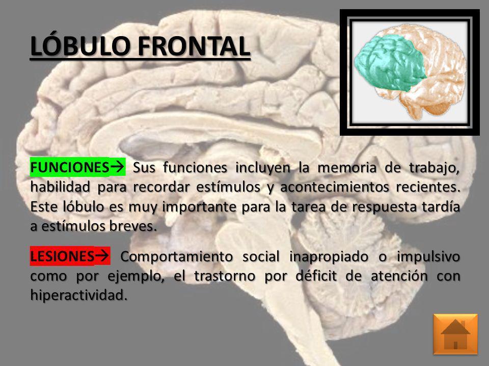 LÓBULO FRONTAL Sus funciones incluyen la memoria de trabajo, habilidad para recordar estímulos y acontecimientos recientes. Este lóbulo es muy importa