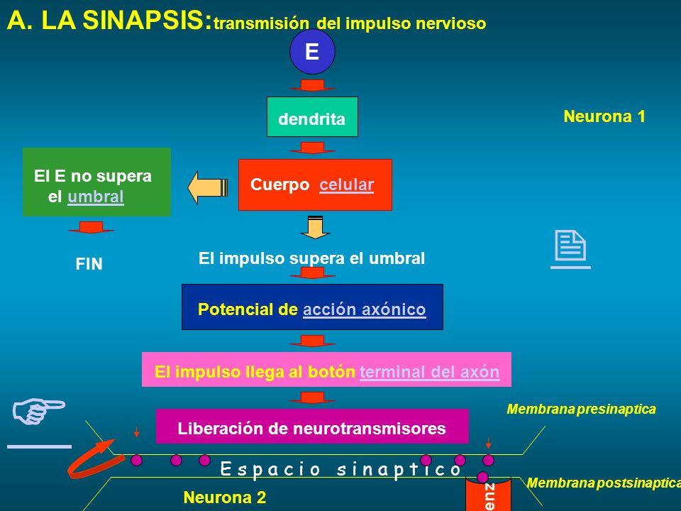 III. El sistema nervioso: Organización A. LA NEURONA: Tipos de neuronas: E MUSCULO SNC RECEPTOR 1 NEURONAS AFERENTES: llevan los mensajes al SNC sobre