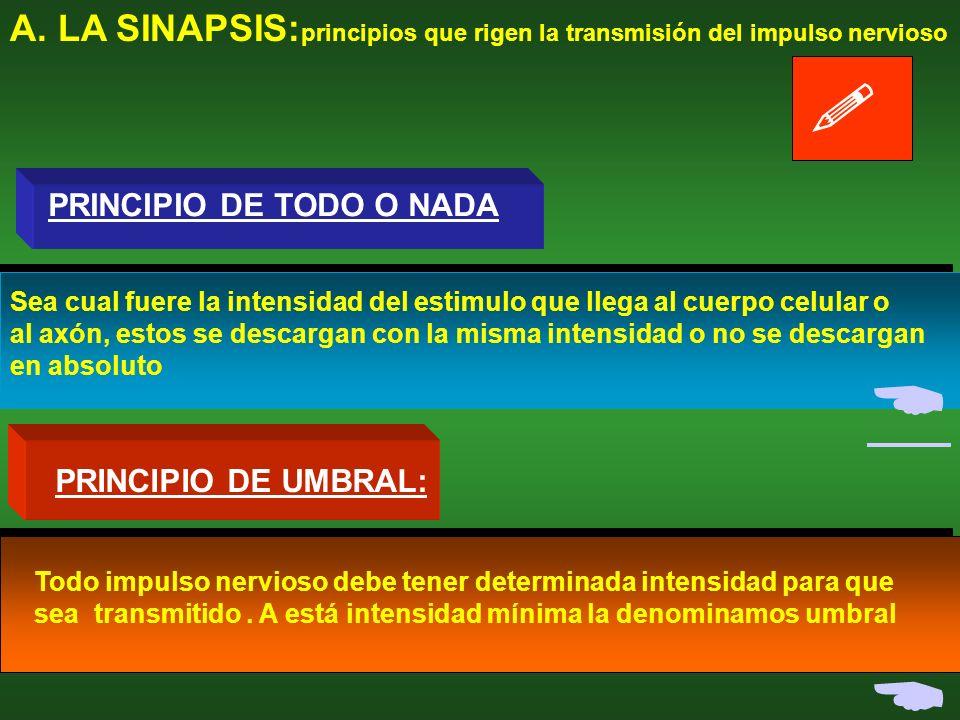 A. LA SINAPSIS: transmisión del impulso nervioso E dendrita Cuerpo celularcelular El E no supera el umbralumbral FIN El impulso supera el umbral Poten