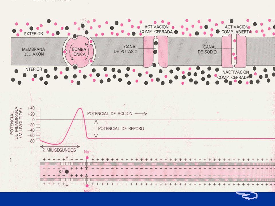 A. LA SINAPSIS: principios que rigen la transmisión del impulso nervioso PRINCIPIO DE TODO O NADA Sea cual fuere la intensidad del estimulo que llega