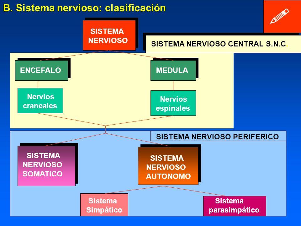 III. EL SISTEMA NERVIOSO: ORGANIZACIÓN B. Sistema nervioso: - clasificación - Sistema periférico - Sistema nervioso central.