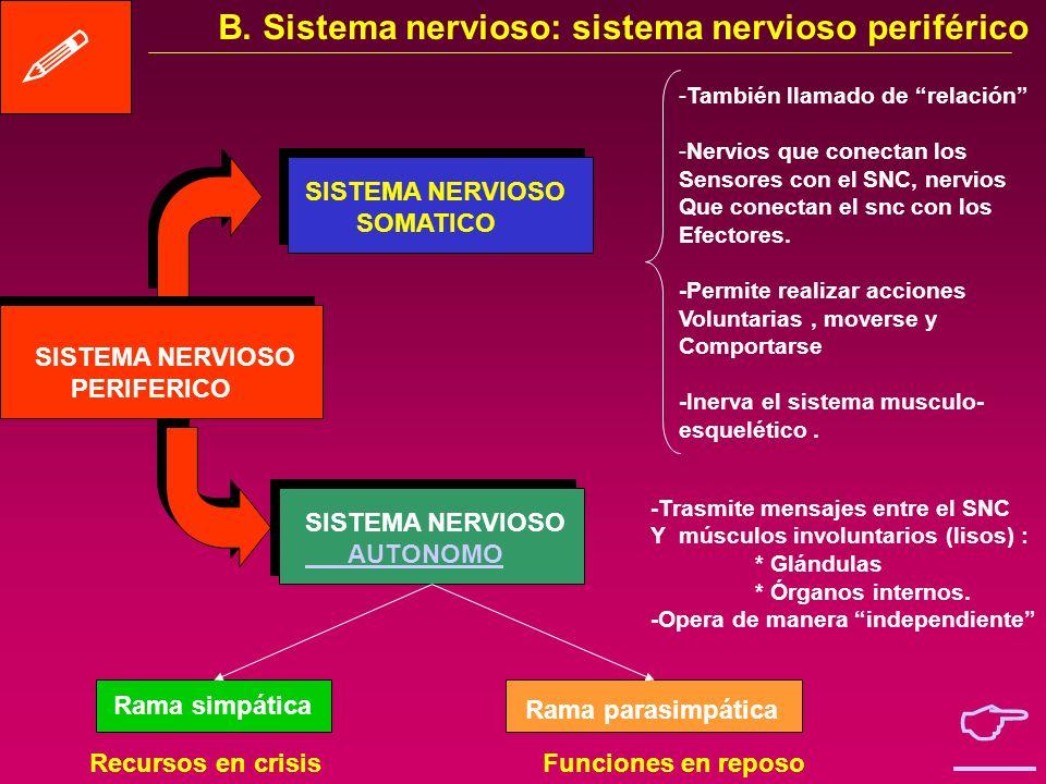 B. Sistema nervioso: clasificación SISTEMA NERVIOSO ENCEFALO MEDULA Nervios craneales Nervios espinales SISTEMA NERVIOSO SOMATICO SISTEMA NERVIOSO AUT
