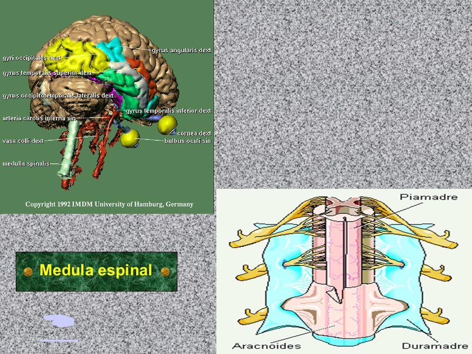 B. Sistema nervioso: sistema nervioso central MEDULA ESPINAL Desde un punto de vista anatómico es una prolongación del cerebrovista anatómico Desde un