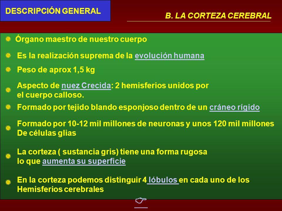 IV.CEREBRO CONDUCTA Y COGNICIÓN B. CORTEZA CEREBRAL: -Descripción general - Areas corticales y sus funciones