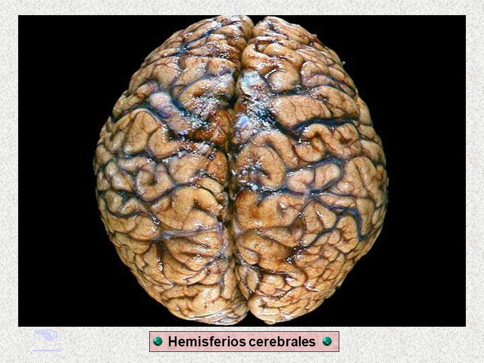 El cerebro: resultado evolutivo
