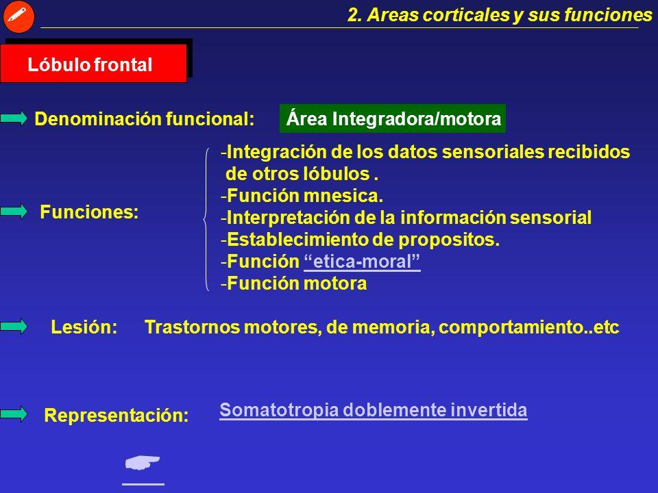2. Areas corticales y sus funciones Lóbulo temporal Denominación funcional:Área auditiva Funciones: -Recepción de estímulos sonoros. - Funciones mnesi