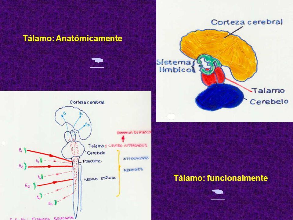 1. EL TALAMO: Gran conjunto de cuerpos celulares, situado inmediatamente por debajo del cuerpo calloso. Anatómicamente: Funcionalmente: Funcionalmente