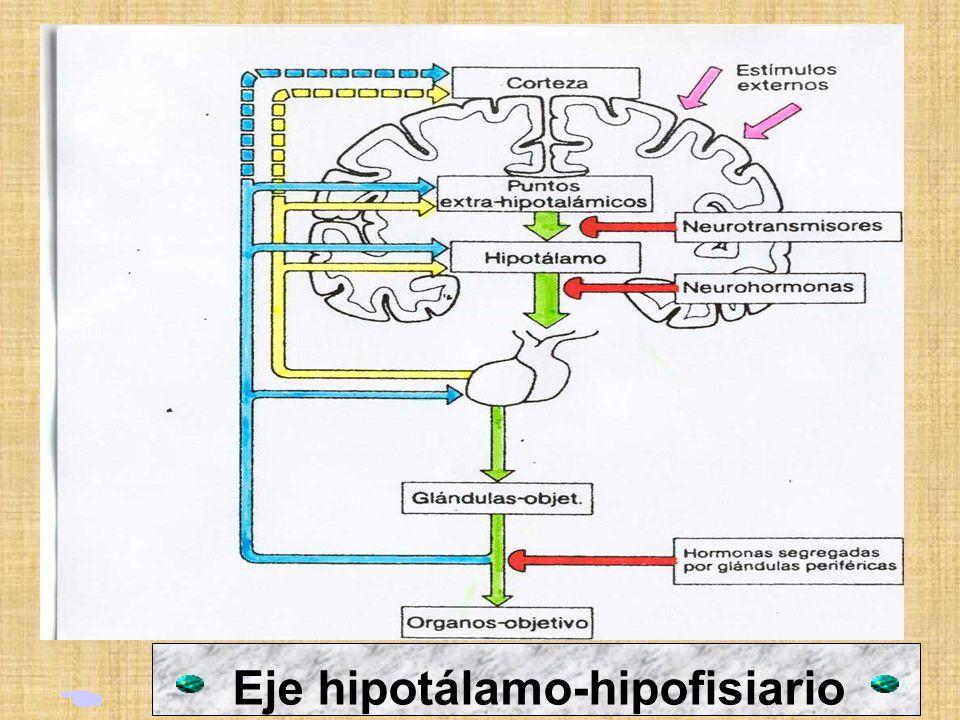 2. EL HIPOTALAMO: Es la estructura límbica más central y de menor tamaño.El hipotálamo controla tantas funciones que se le ha denominado el guardián d