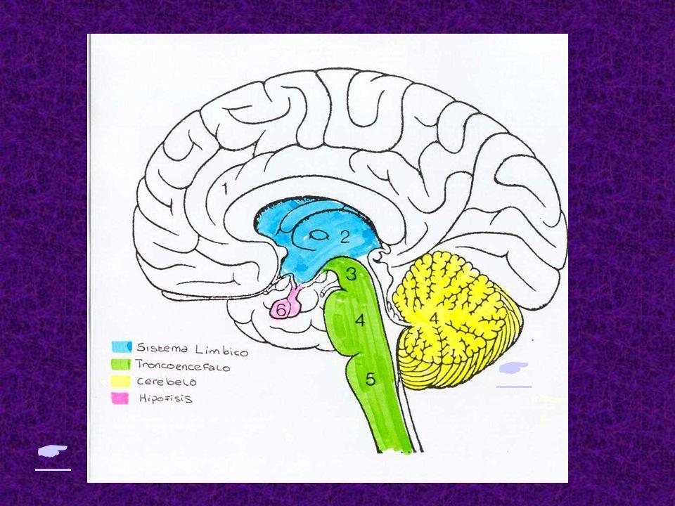 -C- CEREBRO, CONDUCTA Y COGNICIÓN D. EL TRONCOENCEFALO Situado Situado por debajo del lóbulo occipital y prolongandose hacia la medula espinal. Esta c