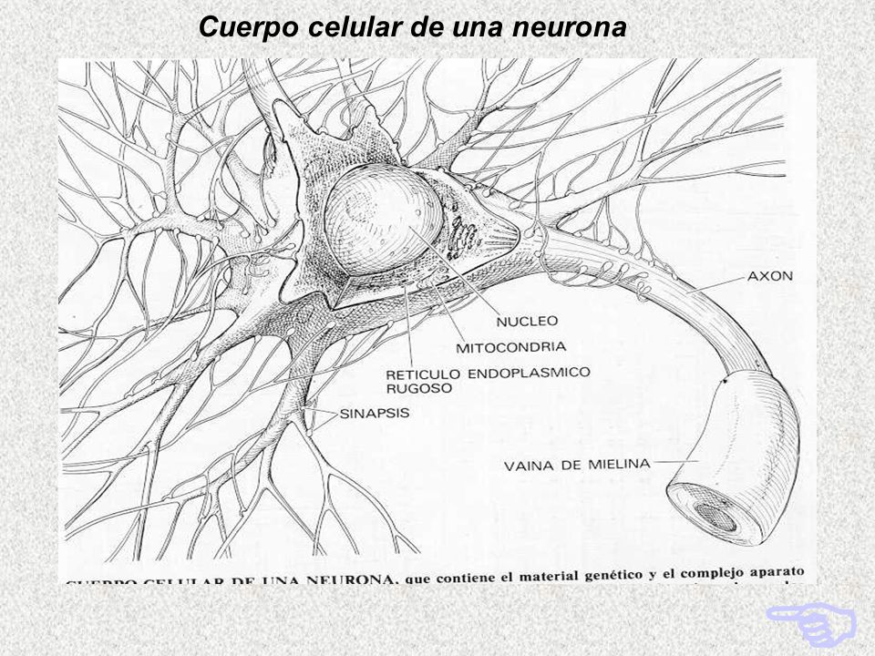 Cuerpo celular de una neurona