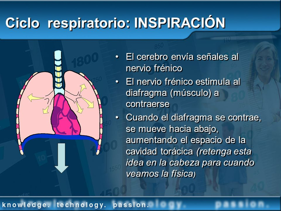 Ciclo respiratorio: INSPIRACIÓN El cerebro envía señales al nervio frénico El nervio frénico estimula al diafragma (músculo) a contraerse Cuando el di