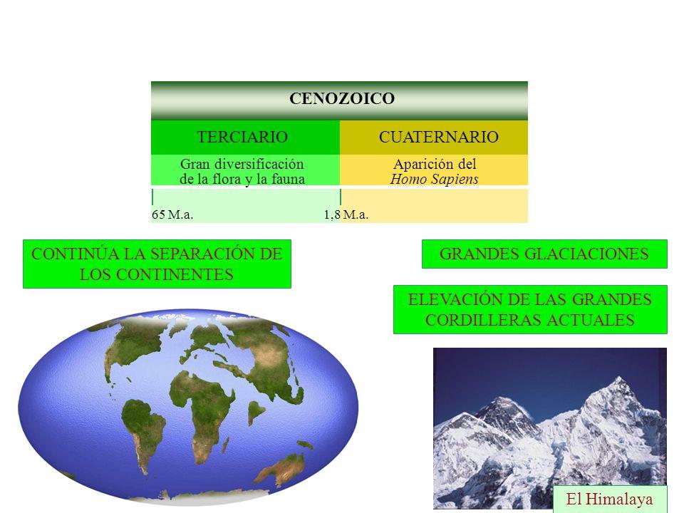 CONTINÚA LA SEPARACIÓN DE LOS CONTINENTES CENOZOICO CUATERNARIOTERCIARIO Aparición del Homo Sapiens Gran diversificación de la flora y la fauna 1,8 M.a.65 M.a.