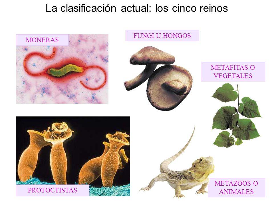 La clasificación actual: los cinco reinos METAFITAS O VEGETALES FUNGI U HONGOS METAZOOS O ANIMALES MONERAS PROTOCTISTAS
