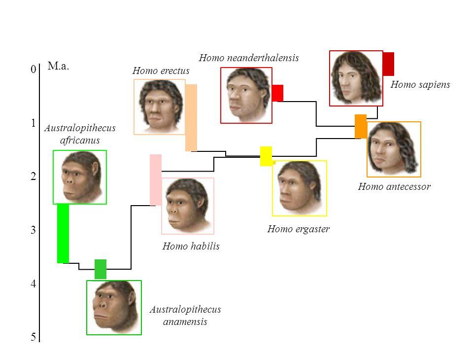 Australopithecus anamensis Australopithecus africanus Homo habilis Homo ergaster Homo erectus Homo antecessor Homo neanderthalensis Homo sapiens 4 5 3 2 1 0 M.a.