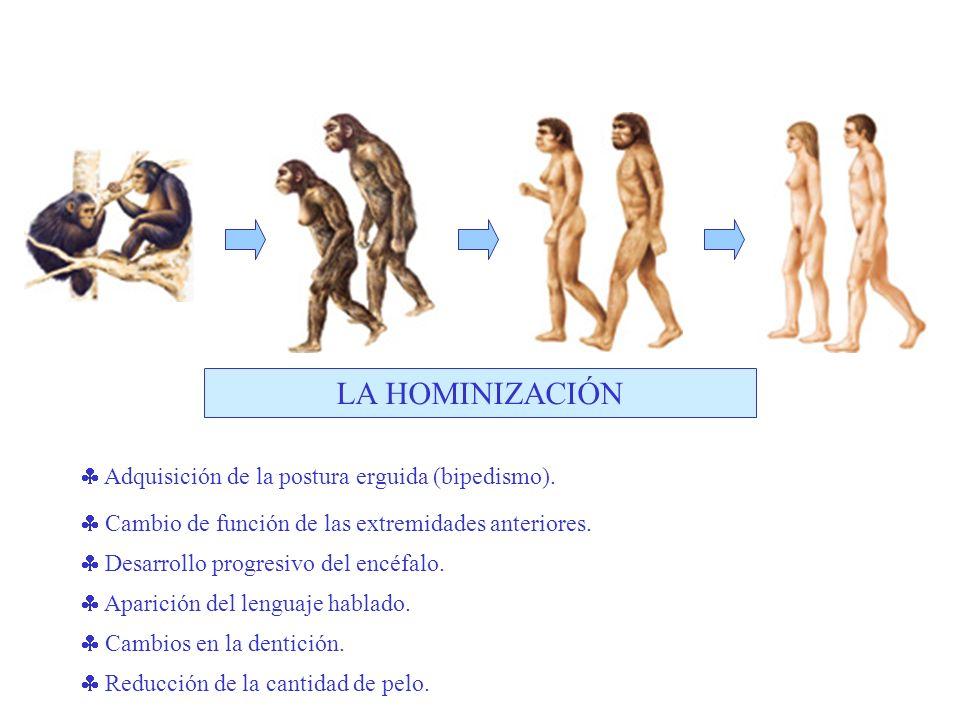 Adquisición de la postura erguida (bipedismo). Cambio de función de las extremidades anteriores.