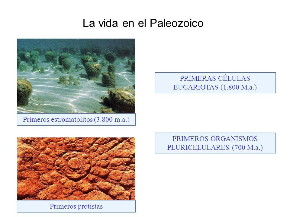 Primeros estromatolitos (3.800 m.a.) Primeros protistas PRIMERAS CÉLULAS EUCARIOTAS (1.800 M.a.) PRIMEROS ORGANISMOS PLURICELULARES (700 M.a.) La vida en el Paleozoico