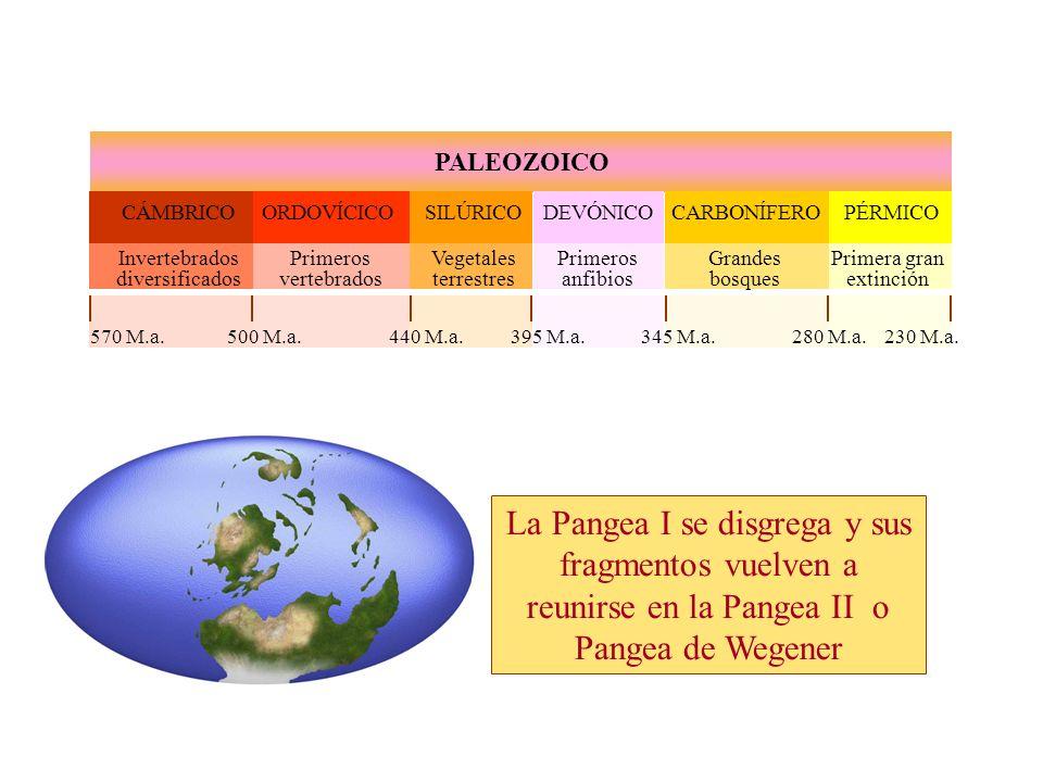 PALEOZOICO CÁMBRICOORDOVÍCICOSILÚRICODEVÓNICOCARBONÍFEROPÉRMICO Invertebrados diversificados Primeros vertebrados Vegetales terrestres Primeros anfibios Grandes bosques Primera gran extinción 570 M.a.500 M.a.440 M.a.395 M.a.345 M.a.280 M.a.230 M.a.